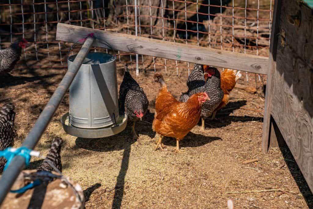 Chickens eating from a hanging feeder next to a chickshaw.