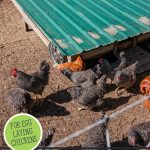 Pinterest pin on using chickens to restore the land using a mobile chicken coop. Image of a mobile chicken coop and chickens.