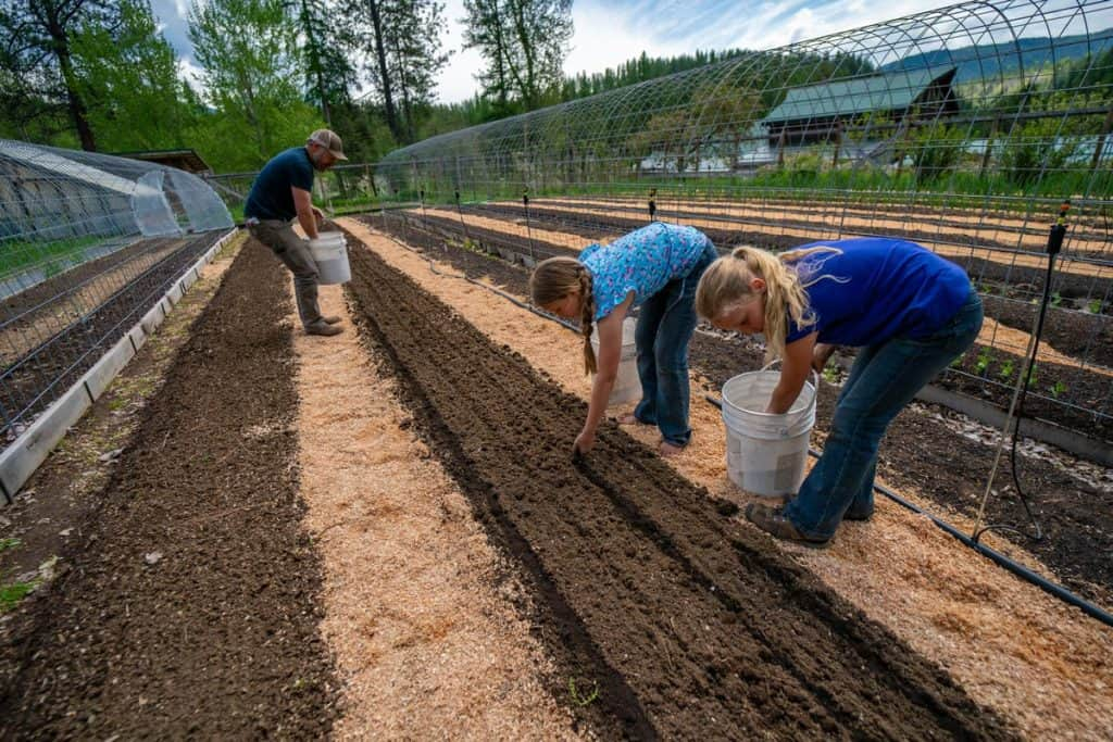 Three people covering carrot seeds with sifted compost.