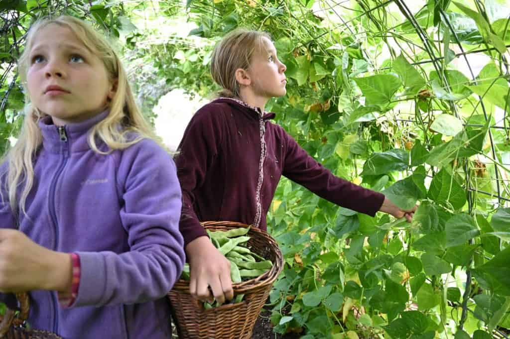 Two girls harvesting beans.