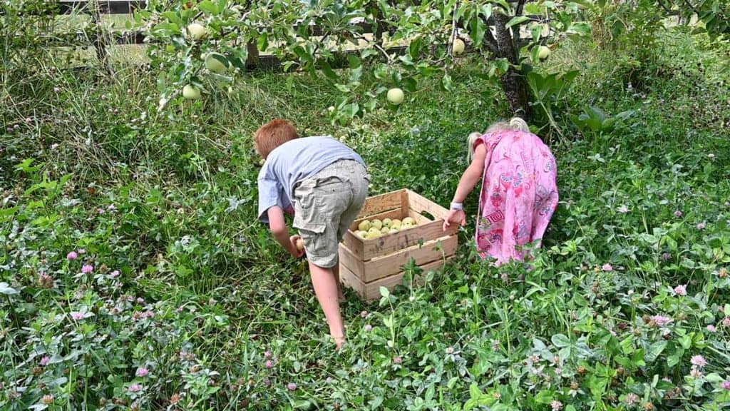 Two small children picking apples off the ground and putting them into a wooden crate.